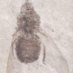 Glossina (UCM 31594a)